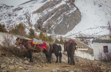 Muktinath mules